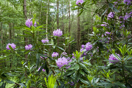 Rhododendrons in June in the woodland on the estate at Gibside, Newcastle upon Tyne