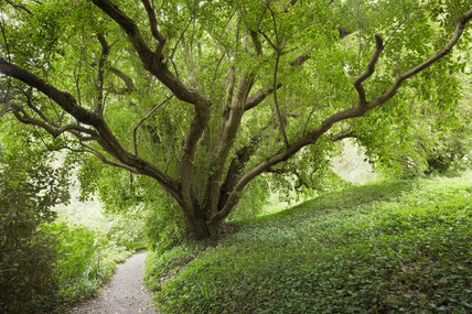 Tree branching over the Far End Path in the garden at Greenway, Devon, which was the holiday home of the crime writer Agatha Christie between 1938 and 1976