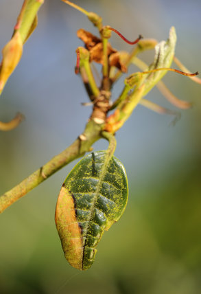 Signs of the fungal disease, Phytophthora ramorum - also known as Sudden Oak Death on rhododendron at Trengwainton Garden, Cornwall.