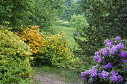 Rhododendron and azaleas in the Rhododendron Wood planted around 1900 to create an attractive vista from Leith Hill Place, Dorking, Surrey