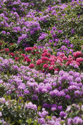 Rhododendrons in the Wild Garden in June, at Sheringham Park, Norfolk