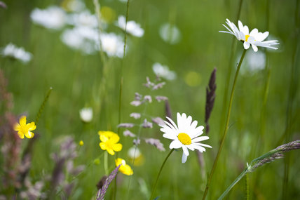 Close view of wildlfowers in June in the meadow at Gibside, Newcastle upon Tyne