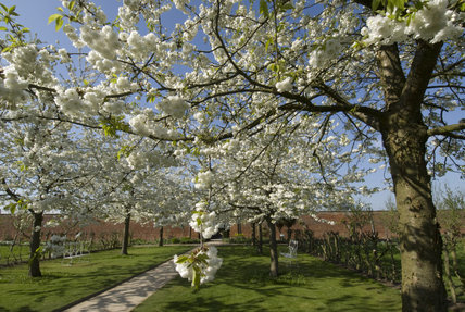 An avenue of white cherry trees, Prunus avium
