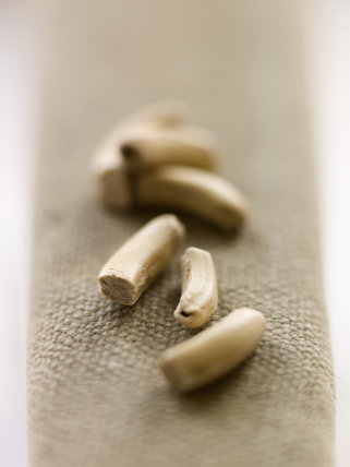 A set of beaver molars found on the Kingston Lacy Estate, Dorset on a second century Roman settlement