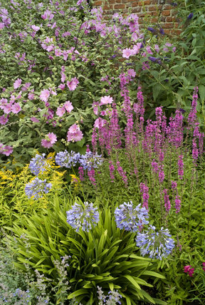 Lavatera and Agapanthus in a herbaceous border at Oxburgh Hall, King's Lynn, Norfolk