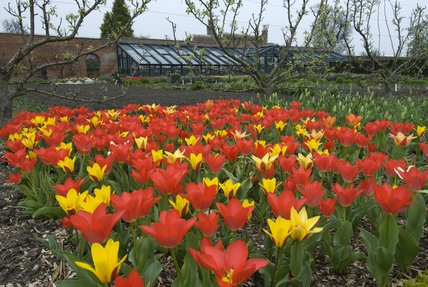Massed tulips in the Walled Garden, with the vegetable garden and greenhouse in the background, in April at Wimpole Hall, Cambridgeshire.