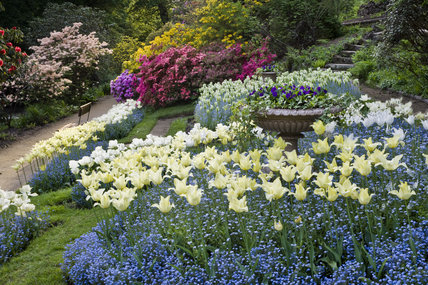 Colourful combination of tulips and forget-me-nots in the garden which was created in the late eighteenth century by Samuel Greg, the mill owner, and his wife Hannah, to complement their house