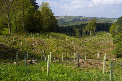 Newly-planted trees in a restored woodland area at Gibside, Newcastle upon Tyne