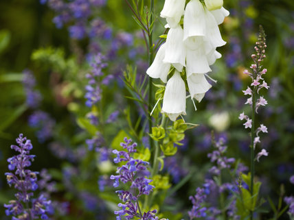 Flowers in the Walled Garden in June at Hinton Ampner, Hampshire