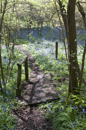Footpath through the bluebell woods in April on the Standen Estate, West Sussex