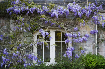 Wisteria around a window on the house (not owned by the NT) at Biddulph Grange Garden, Staffordshire