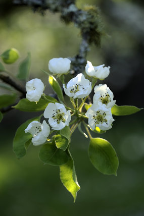 Pear blossom in April in the fruit orchard at Cotehele, Cornwall