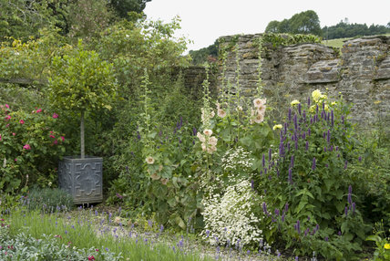Standard bay tree in a planter, with hollyhocks and roses in the Elizabethan garden in July at Buckland Abbey, Devon