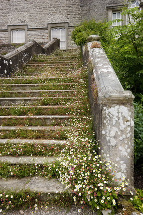 Erigeron karvinskianus growing on the steps on the south east front at Sizergh Castle, near Kendal, Cumbria