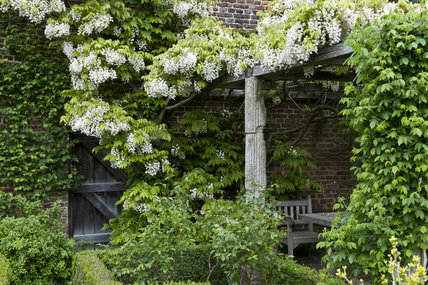 Wisteria venusta covers the pergola in May in the White Garden at Sissinghurst Castle Garden, Kent