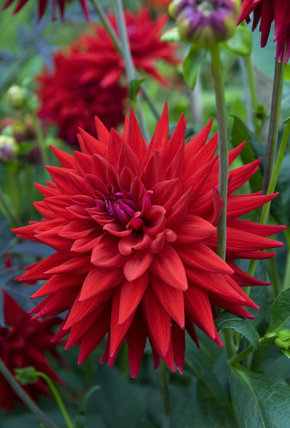 Vivid red dahlia at Hidcote Manor Garden, Gloucestershire