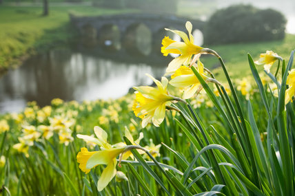 Narcissi in flower in March beside the lake at Stourhead, Wiltshire, with the Palladian Bridge in the distance