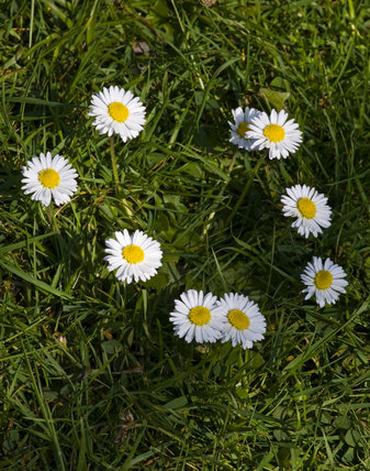 Ring of daisies in the grass at Gibside, Newcastle upon Tyne