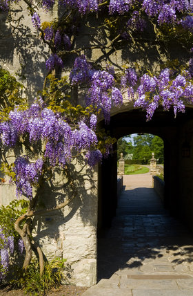 Wisteria hanging over the Gatehouse door at Baddesley Clinton, Warwickshire