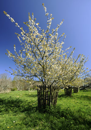 Cherry trees in  blossom in April in Bohetherick orchard, near Cotehele Quay, Cornwall