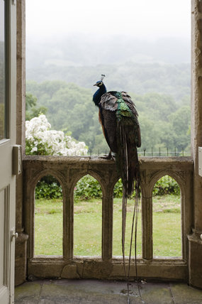 A peacock perches on the stone balustrade outside the Garden Hall at Newark Park, Gloucestershire, with a view towards the Mendips