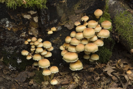 Sulphur Tuft (Hypholoma fasciculare) which grows in dense clusters on tree stumps, in Roundshill Park Wood on the Sissinghurst Castle Estate