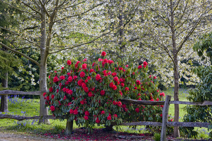 Bright red rhododendron in the Rhododendron Wood planted around 1900 to create an attractive vista from Leith Hill Place, Dorking, Surrey