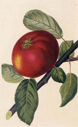 Hoary Morning Apple (Plate 6) from Lindley's British Fruit at Anglesey Abbey