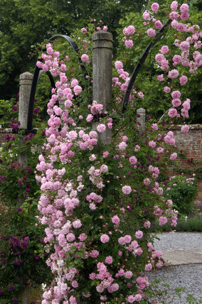 Rosa Debutante on the wooden and metal arches of the Rose Garden at Mottisfont Abbey Garden, Hampshire