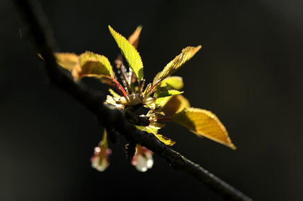 New foliage and blossom on a cherry tree in April in Bohetherick orchard, near Cotehele Quay, Cornwall