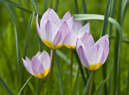 Tulipa saxatilis in the Walled Garden at Mottisfont, Hampshire, in April