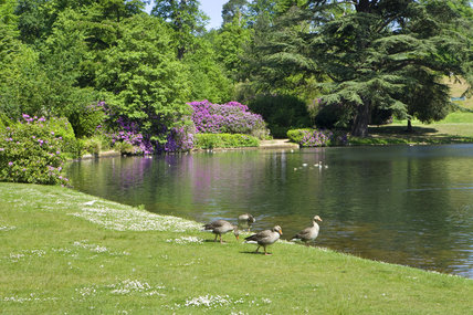 The lake and rhododendrons, with ducks on the bank, at Claremont Landscape Garden in Surrey