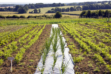 Nantes carrot and onions growing in the new vegetable garden in July at Sissinghurst Castle Garden, Cranbrook, Kent
