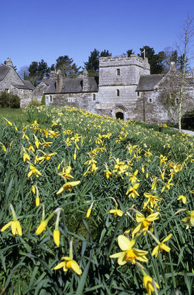 View over the naturalised daffodils to the south range at Cotehele, Cornwall