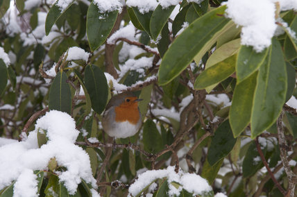 A robin (Erithacus rubecula) in the snow at Sheffield Park, East Sussex