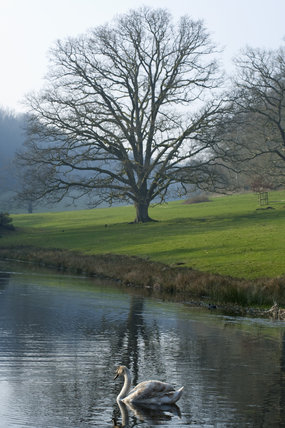 Swan on the lake at Stourhead, Wiltshire, in March