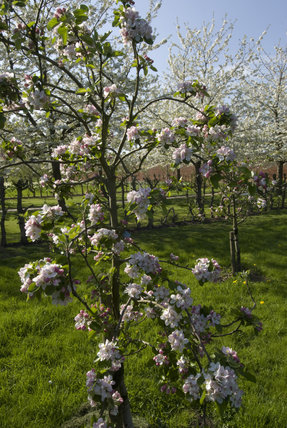 Young apple tree in blossom with a white cherry tree byond in the newly-created orchard in April at Wimpole Hall, Cambridgeshire.