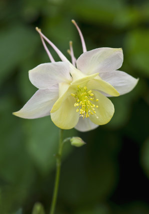 Long-spurred Aquilegia in May at Sissinghurst Castle Garden, Kent