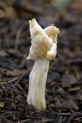 Common White Helvella, Helvella crispa, or elfin saddle, grows in damp deciduous woods, and is edible but has a poor taste