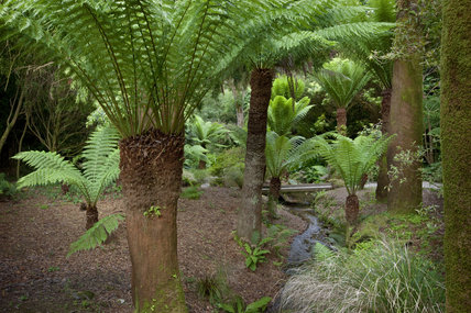 Tree fern (Dicksonia antarctica) beside the stream at Trengwainton Garden, Cornwall.
