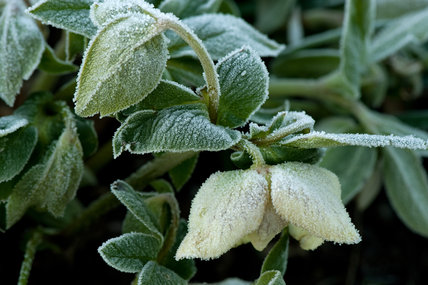 A Helleborus orientalis after a severe overnight frost