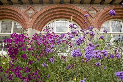 Verbena bonariensis and other late summer flowers in September, in front of the house designed by Philip Webb in the Arts & Crafts style in 1892-4 at Standen, East Grinstead, West Sussex