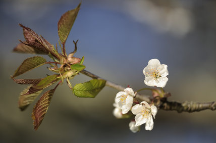 Cherry blossom in April in Bohetherick orchard, near Cotehele Quay, Cornwall