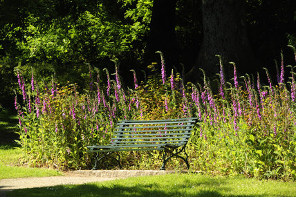 Wild foxgloves (Digitalis purpurea) and a garden bench at Trelissick Garden, Cornwall, in June
