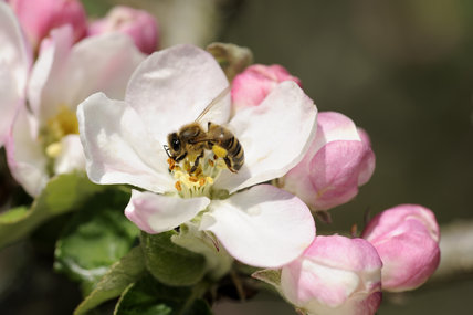 Apple blossom with a honey bee (apis mellifera) in April, in the fruit orchard at Cotehele, Cornwall