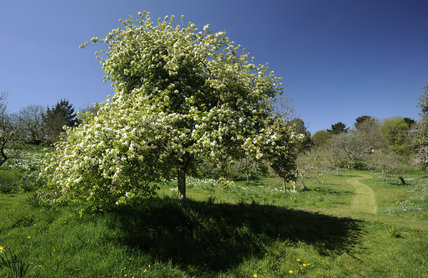 Apple tree in blossom in April, in the fruit orchard at Cotehele, Cornwall