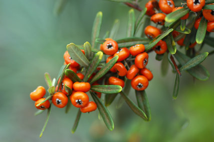 Pyracanthus angustifolia, Firethorn,  with berries in an East Sussex garden