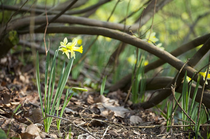 Narcissi in a woodland planting setting in the garden at Stourhead, Wiltshire, in March