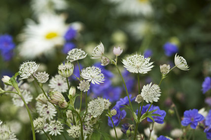 White Astrantia flowers and blue Geranium in the herbaceous borders at Lyme Park, Cheshire