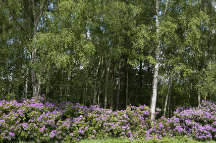 Rhododendrons growing in Green Close in June at Gibside, Newcastle upon Tyne